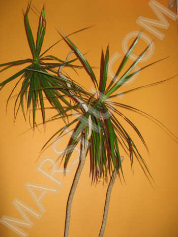Madagascar Dragon Tree Care Of Dracaena Marginata