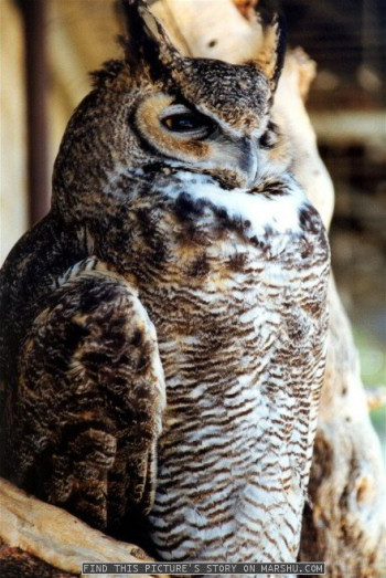 great horned owl - close up