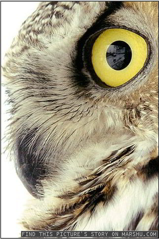 eyes up close- great horned owl