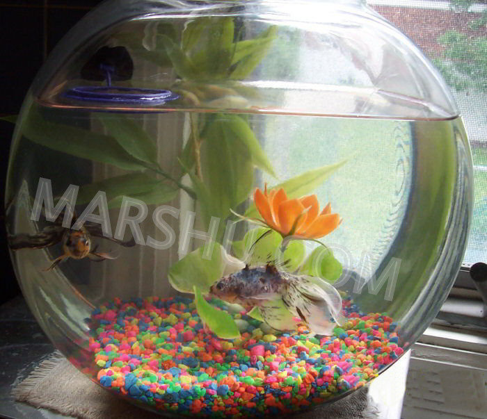 Goldfish in a bowl - photo#22