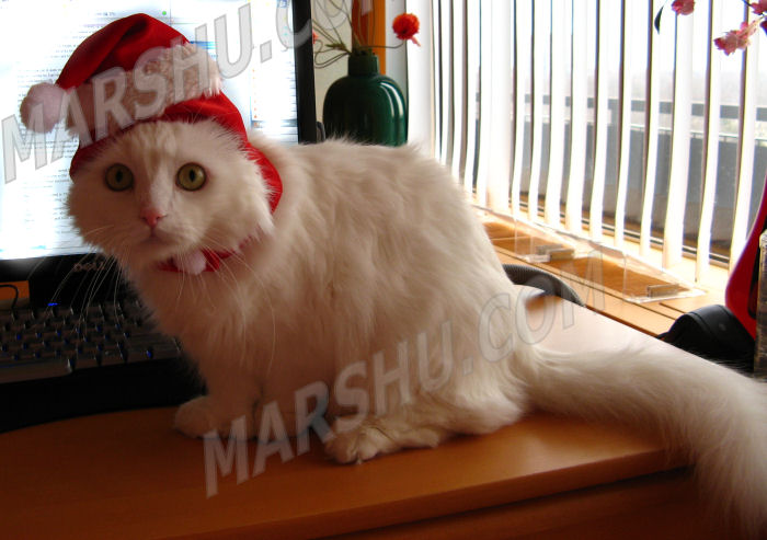 cat in red santa hat for christmas